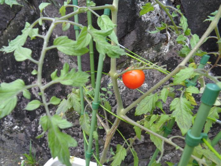 ぺんぎんぐみ トマト畑